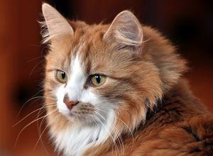 Как назвать рыжего кота