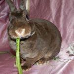 Кролик карлик рекс фото