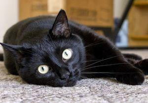 Содержание бомбейской кошки