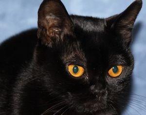 Генетика бомбейской породы кошек