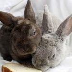 Декоративные кролики рексы фото