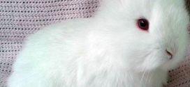 Карликовая ангора — тот самый кролик