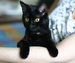 Отзыв о бомбейской кошке