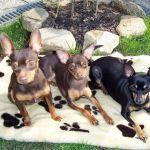 Щенки породы крысарик (ратлик)