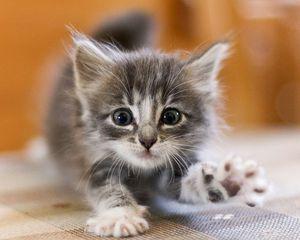 Как назвать серого котенка