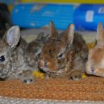 Плюшевые кролики мини-рексы