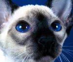 Характеристика сиамской кошки