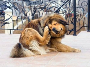 Ушной клещ у собак