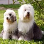 Две староанглийские овчарки