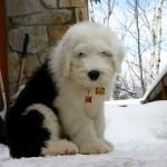 Черно-белый щенок бобтейла
