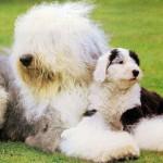 Бобтейл со щенком фото