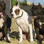 Собаки породы питбультерьер американский