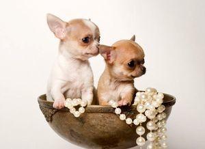 Короткошерстные породы маленьких собак