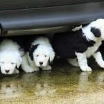 Маленькие щенки бобтейла