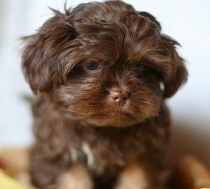 Как выбрать щенка маленькой собаки