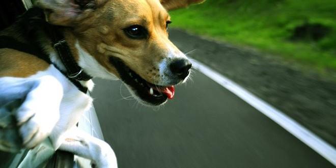 Собака едет на дачу