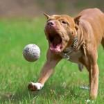 Игривый щенок питбультерьера фото