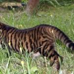 Фото кошки породы тойгер