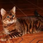 Яркая домашняя кошка тойгер фото