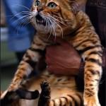 Крупный кот тойгер
