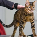 Тайгер кошка