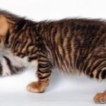 Маленький котенок тойгера