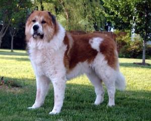 фото собака кавказец
