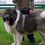 Кавказский волкодав порода