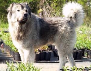 Стандарты кавказской овчарки
