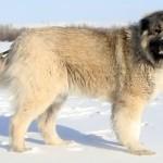 Снежный кавказский волкодав картинка