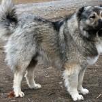 Бурая кавказская овчарка