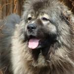 Фото овчарки - кавказского волкодава