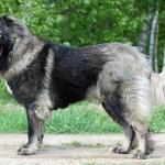 Порода собак кавказец