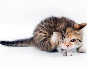 Симптомы ушного клеща у кошки