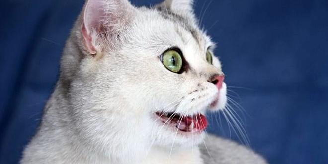 Что такое ринотрахеит — лечим кошачий герпес