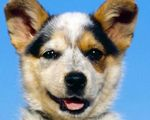 Породы собак среднего размера для квартиры