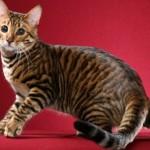 Тойгер кошка фото