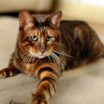 Щекастый кот тайгер