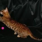 Игривый кот тойгер