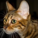 Тойгер фото кошки