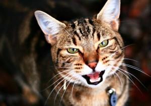 Отодектоз у кошек