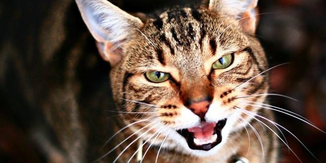 Ушной клещ у котов — симптомы и лечение