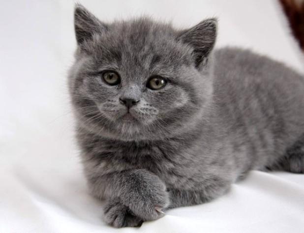 Голубой котенок-британец