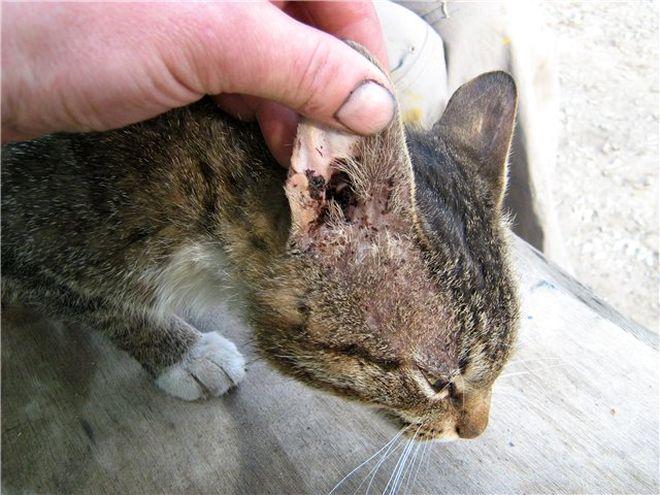 Укус домашнего кота чем лечить в домашних  33