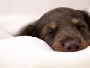Дозировка золетила собакам