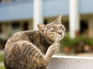 Лишай у кошки