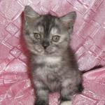 Британский котенок черная дымчатая черепаха