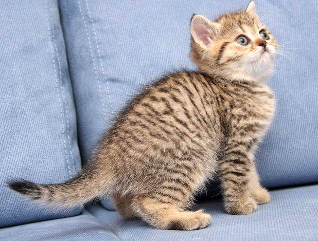На картинке британский котенок черный тигровый табби