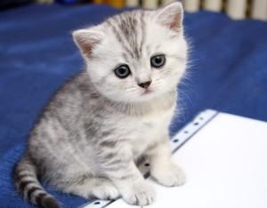 Британские котята характер отзывы