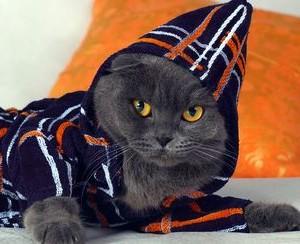 Британские кошки и шотландские разница